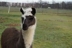 Um retrato de uma Lama Imagem de Stock Royalty Free