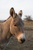 Um retrato de uma mula Foto de Stock