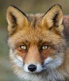 Um retrato de uma raposa vermelha Fotografia de Stock