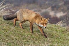 Um retrato de uma raposa vermelha Imagens de Stock Royalty Free