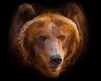 Um retrato de um urso enorme no quadro inteiro, o animal ? enorme e iluminado pelo sol Isolado no fundo preto fotos de stock royalty free