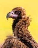Um retrato do abutre preto euro-asiático selvagem foto de stock royalty free