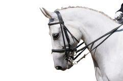 Um retrato do cavalo cinzento do dressage isolado Imagens de Stock