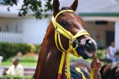 Um retrato do cavalo de corrida Fotos de Stock Royalty Free