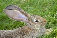 Um retrato do close-up de um coelho que encontra-se na grama verde Fotografia de Stock