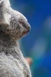 Koala do retrato imagem de stock