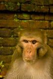 Um retrato do macaco Imagem de Stock