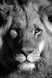 Um retrato masculino novo do leão em preto e branco África do Sul Fotografia de Stock