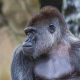 Um revestimento ereto do gorila fêmea ocidental da planície para a frente Imagens de Stock Royalty Free