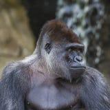 Um revestimento ereto do gorila fêmea ocidental da planície para a frente Fotografia de Stock Royalty Free