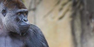 Um revestimento ereto do gorila fêmea ocidental da planície para a frente Fotos de Stock Royalty Free