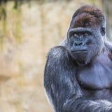 Um revestimento ereto do gorila fêmea ocidental da planície para a frente Foto de Stock Royalty Free