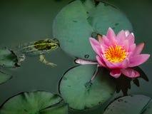 Um ridibunda de Rana da rã senta-se em uma lagoa e olha-se ao lírio de água ou à flor de lótus Nymphaea cor-de-rosa Marliacea Ros fotografia de stock