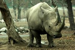 Um rinoceronte fêmea foto de stock royalty free