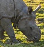 Um rinoceronte horned imagens de stock
