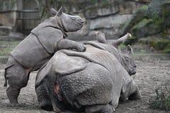 Um rinoceronte pequeno joga com sua mãe foto de stock