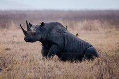 Um rinoceronte que senta-se na terra Fotografia de Stock