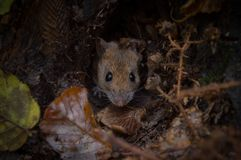 Um roedor desconhecido fotografia de stock royalty free