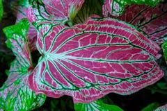 Um rolamento da gota de água em uma folha cor-de-rosa bonita Angel Wing Fá Fotografia de Stock Royalty Free