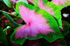 Um rolamento da gota de água em uma folha cor-de-rosa bonita Angel Wing Fá Foto de Stock