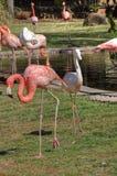 Um rosa e um flamingo branco estão junto Foto de Stock