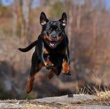 Um rottweiler fêmea travado no salto fotografia de stock