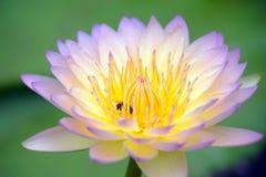 Um roxo bonito waterlily ou flor de lótus Foto de Stock