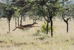 Um salto fêmea bonito da impala fotografia de stock