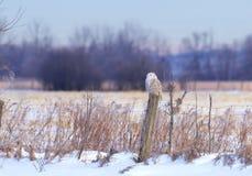 Um scandiacus nevado do bubão da coruja empoleirado em um cargo de madeira no por do sol no inverno em Ottawa, Canadá foto de stock