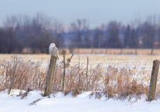 Um scandiacus nevado do bubão da coruja empoleirado em um cargo de madeira no por do sol no inverno em Ottawa, Canadá imagens de stock royalty free