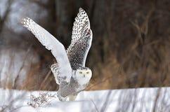 Um scandiacus nevado do bubão da coruja que descola para caçar sobre um campo coberto de neve em Canadá imagem de stock