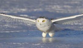 Um scandiacus nevado do bubão da coruja que entra para a matança no por do sol sobre um campo coberto de neve em Canadá fotos de stock royalty free