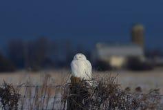Um scandiacus nevado masculino do bubão da coruja empoleirado em um cargo de madeira com um celeiro na distância no inverno em Ot foto de stock royalty free