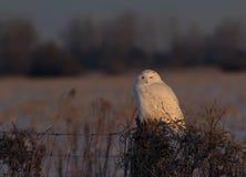 Um scandiacus nevado masculino do bubão da coruja empoleirado em um cargo de madeira no por do sol no inverno em Ottawa, Canadá imagens de stock royalty free
