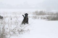 Um schnauzer gigante novo está em um campo no inverno fotografia de stock royalty free