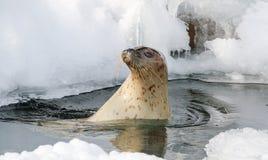 Um selo na água no dia ensolarado Fotos de Stock