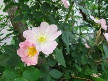 Um selvagem delicadamente cor-de-rosa aumentou com estames amarelos cresce em um arbusto, close-up foto de stock royalty free