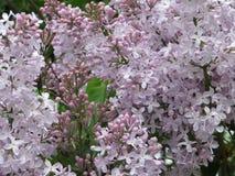 Um sentido da alegria e continuação da vida, olhando no lilás do arbusto imagem de stock