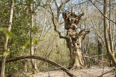 Um ser humano torcido impar como a árvore foto de stock royalty free