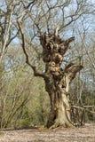 Um ser humano torcido impar como a árvore imagens de stock royalty free