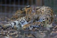 Um Serval africano Cat Behind a gaiola imagens de stock royalty free