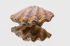 Um shell com reflexão Foto de Stock Royalty Free