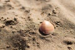 Um shell marrom na areia de uma praia Imagem de Stock