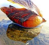 Um shell na água Imagem de Stock