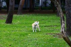 Um Shiba Inu fora do jardim zoológico de Sapporo Maruyama fotos de stock royalty free