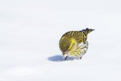 Um Siskin fêmea na neve Fotografia de Stock
