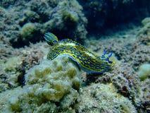Um Slug de mar Fotos de Stock
