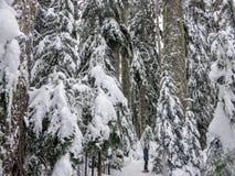 Um snowshoer que anda e que admira a beleza impressionante da paisagem do inverno na montanha de Cypress foto de stock royalty free