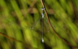 Um sponsa masculino bonito de Emerald Damselfly Lestes que empoleira-se em um junco na borda da água imagens de stock