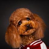 Um sportswear vestindo do ‹marrom do †do ‹do †do cão da peluche imagens de stock royalty free